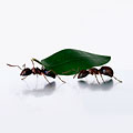 The Incredible Strength of Ants
