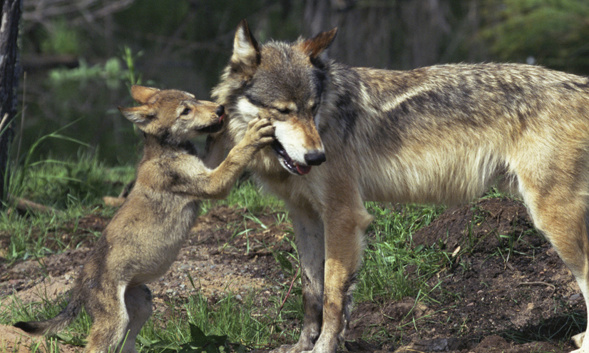Dogs and Wolves: Nature or Nurture?