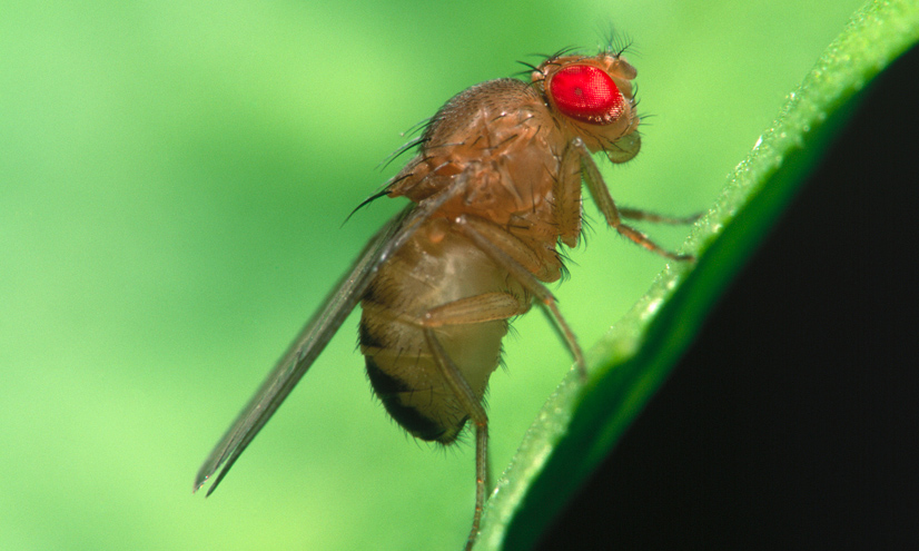 FactPack: Fruit Flies