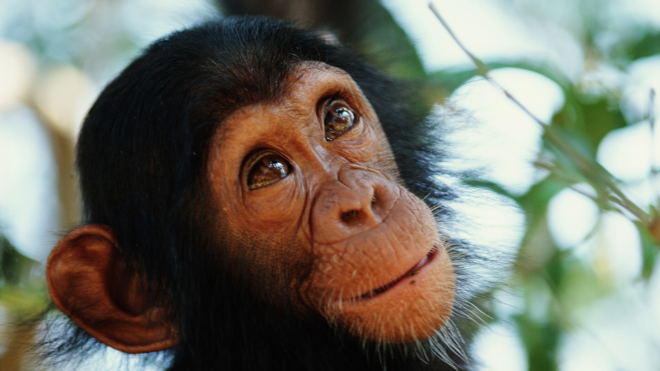 Chimps: Our Closest Relatives?