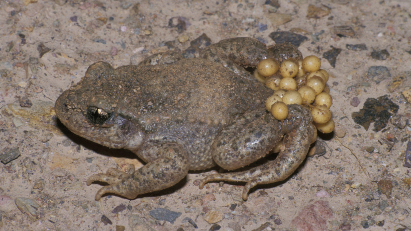 Midwife Toads