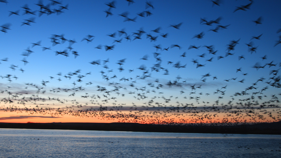 FactPack: Bird Migrations