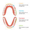 The Function of Teeth