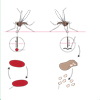 Parasitism: Malaria Life Cycle (unlabelled)
