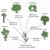 Selection for Brassica Adaptations