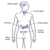 Major Endocrine Organs (labeled)