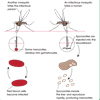 Parasitism: Malaria Life Cycle (labeled)