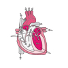Cardiac Cycle (unlabeled)