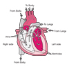 Cardiac Cycle (labeled)